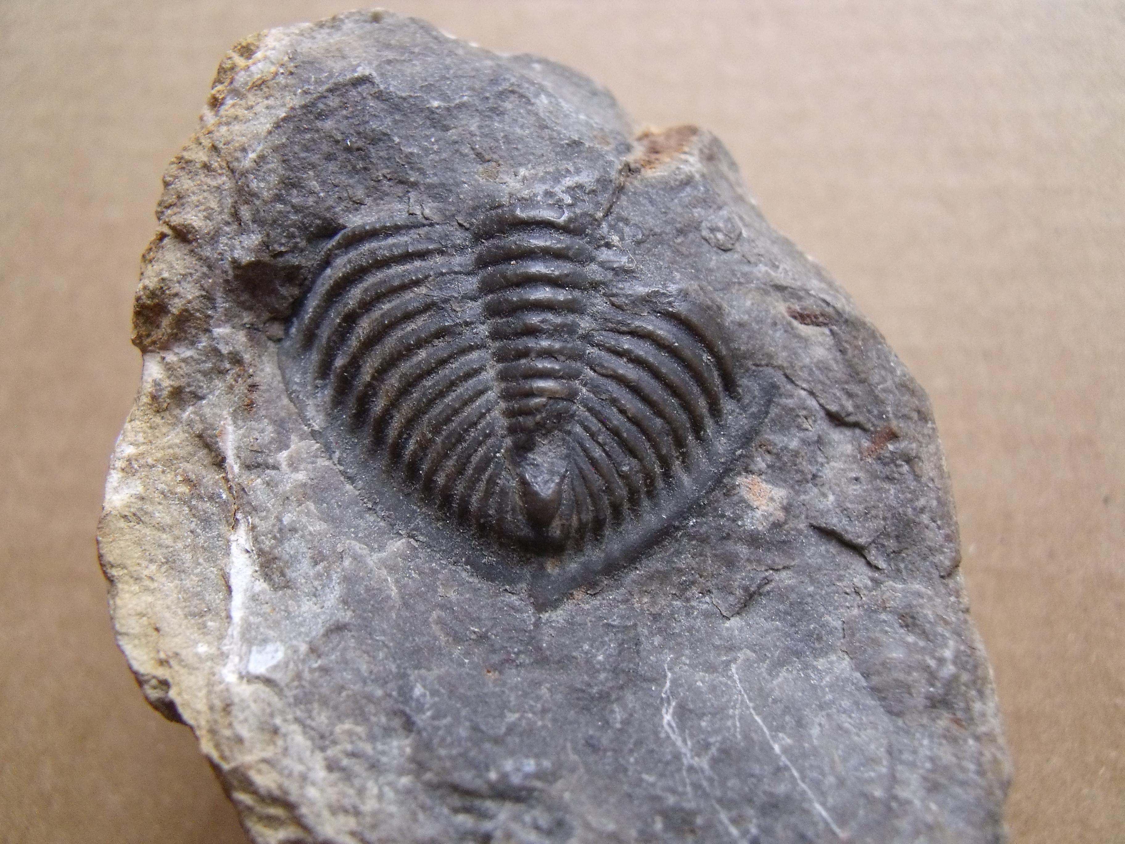 ocasní štít trilobita Odontochyle hausmanni, (lok. Praha)