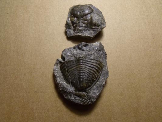 části trilobita Zlichovaspis maccoyi, (lok. Hostim)
