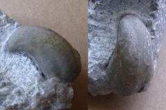 plž Platyceras sp. , (lok. lom Plešivec)