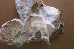 hlava trilobita Lioharpes venulosus, (lok. Houbův lom,Koněprusy)