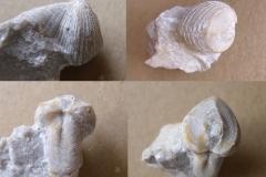 měkýš - rostrokoncha - Conocardium bohemicum, (lok.lom Plešivec)
