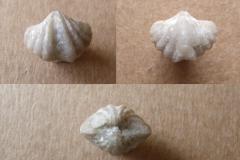 ramenonožec Hysterolites nerei, (lok. lom Plešivec)