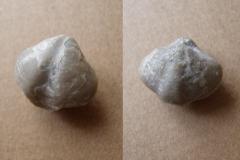 ramenonožec Eospirifer togatus, (lok. lom Plešivec)