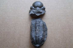 trilobit Reedops decorus, (lok. Praha Zlíchov)