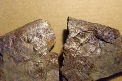 1) ocasní štít trilobita p/n