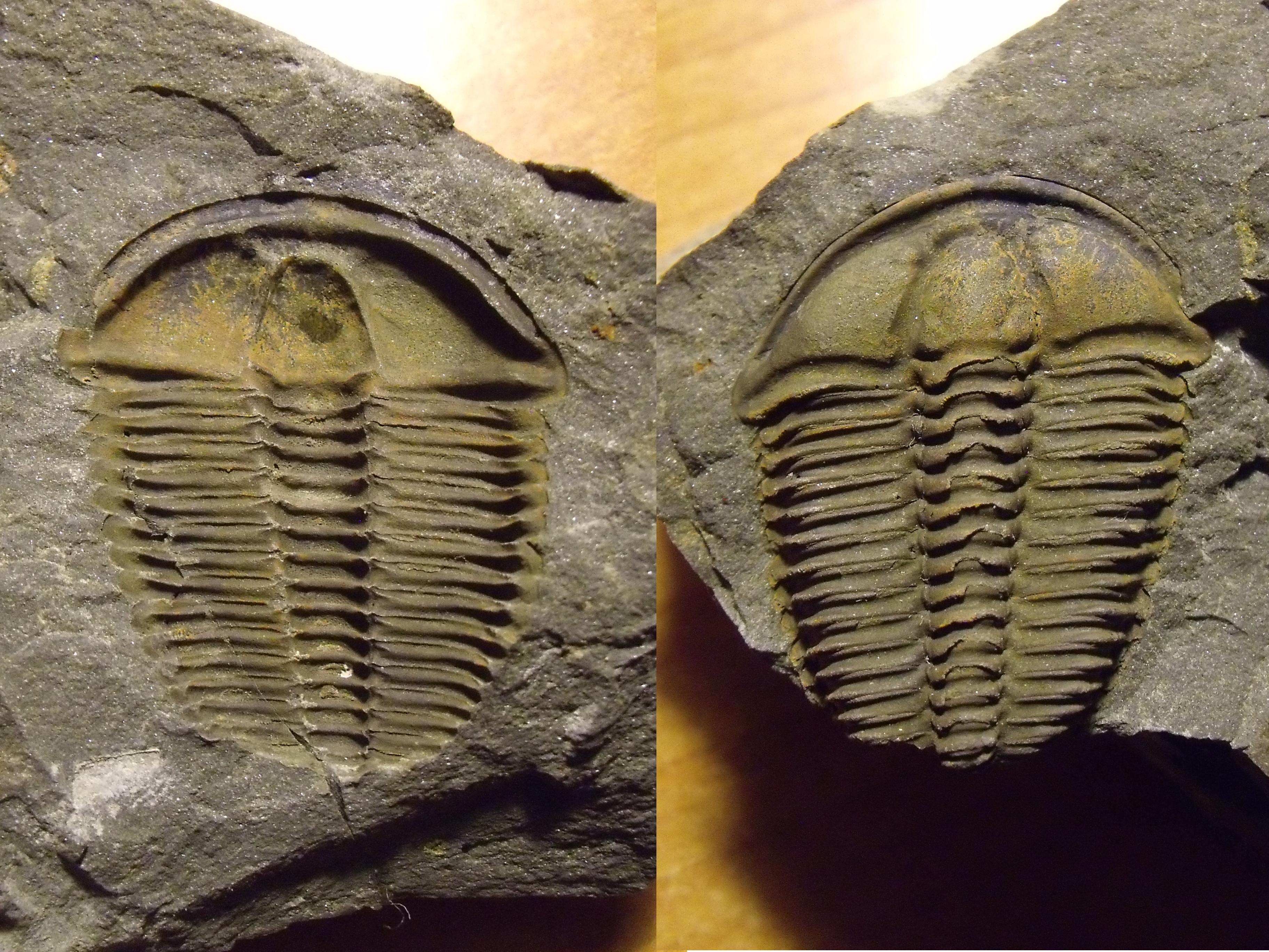 trilobit Conocoryphe sulzeri, n/p (lok.Felbabka)