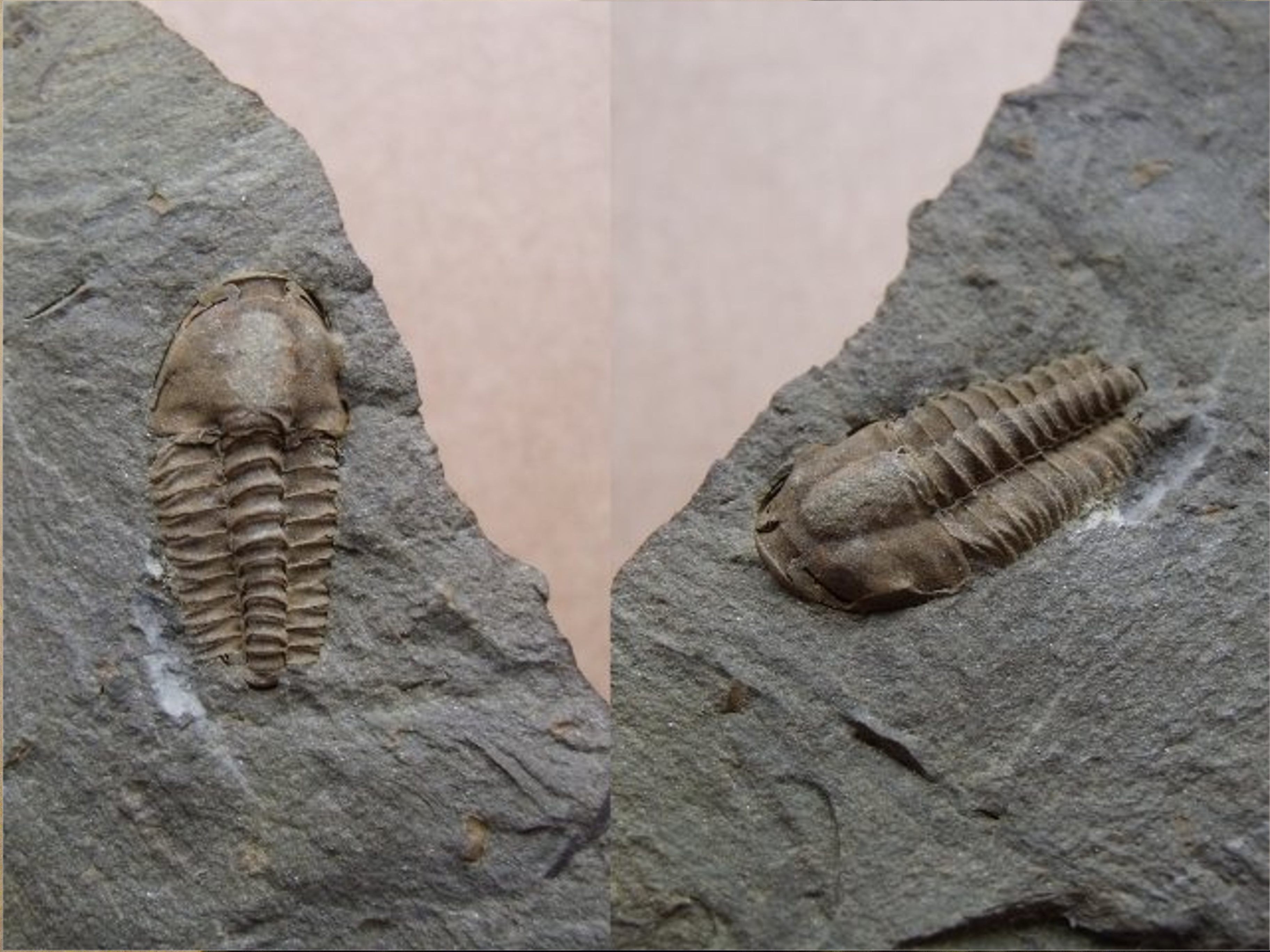 trilobit Litavkaspis rejkovicensis, (lok.Rejkovice)