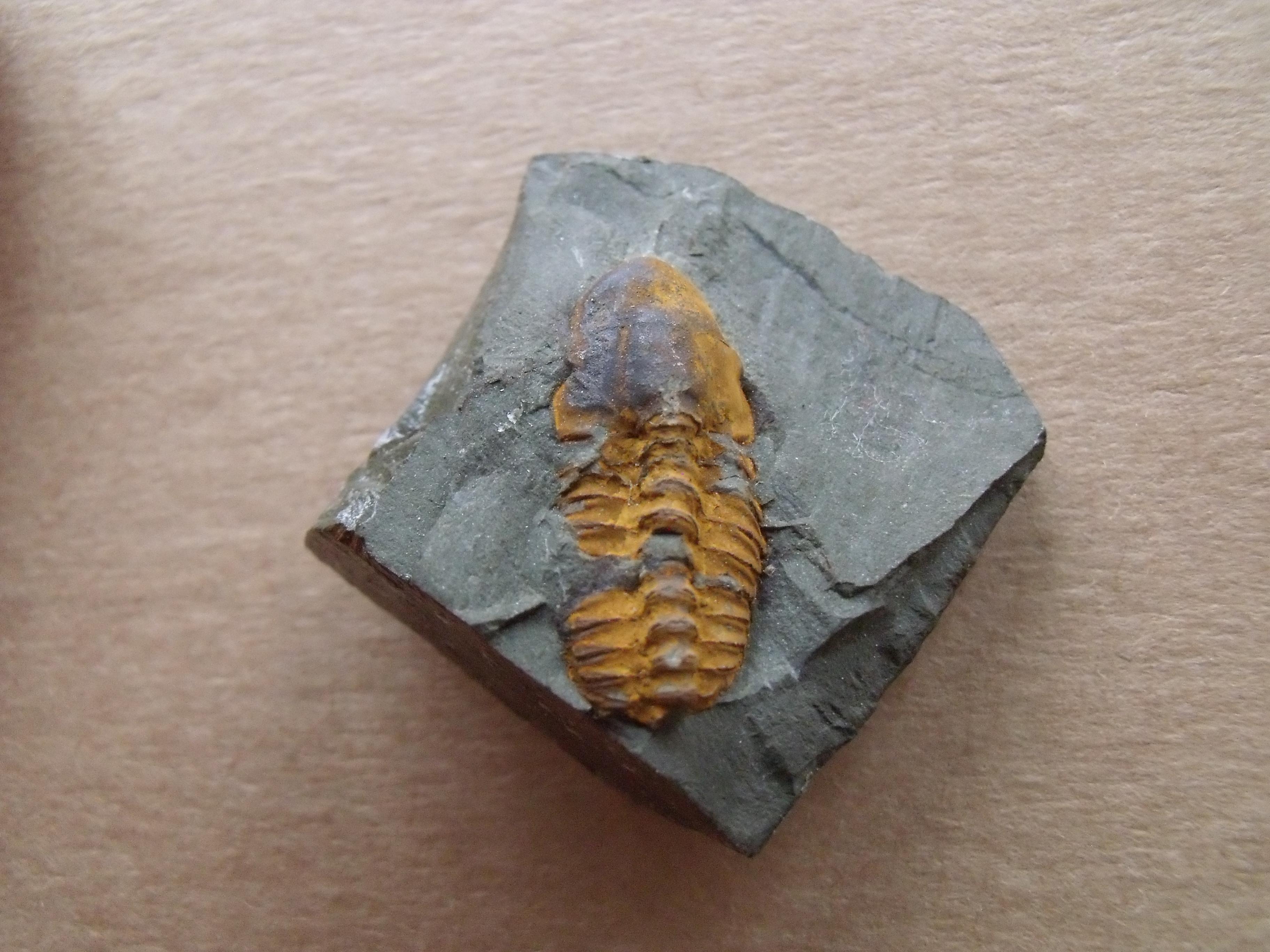 trilobit Agraulos ceticephalus, (lok.Skryje)
