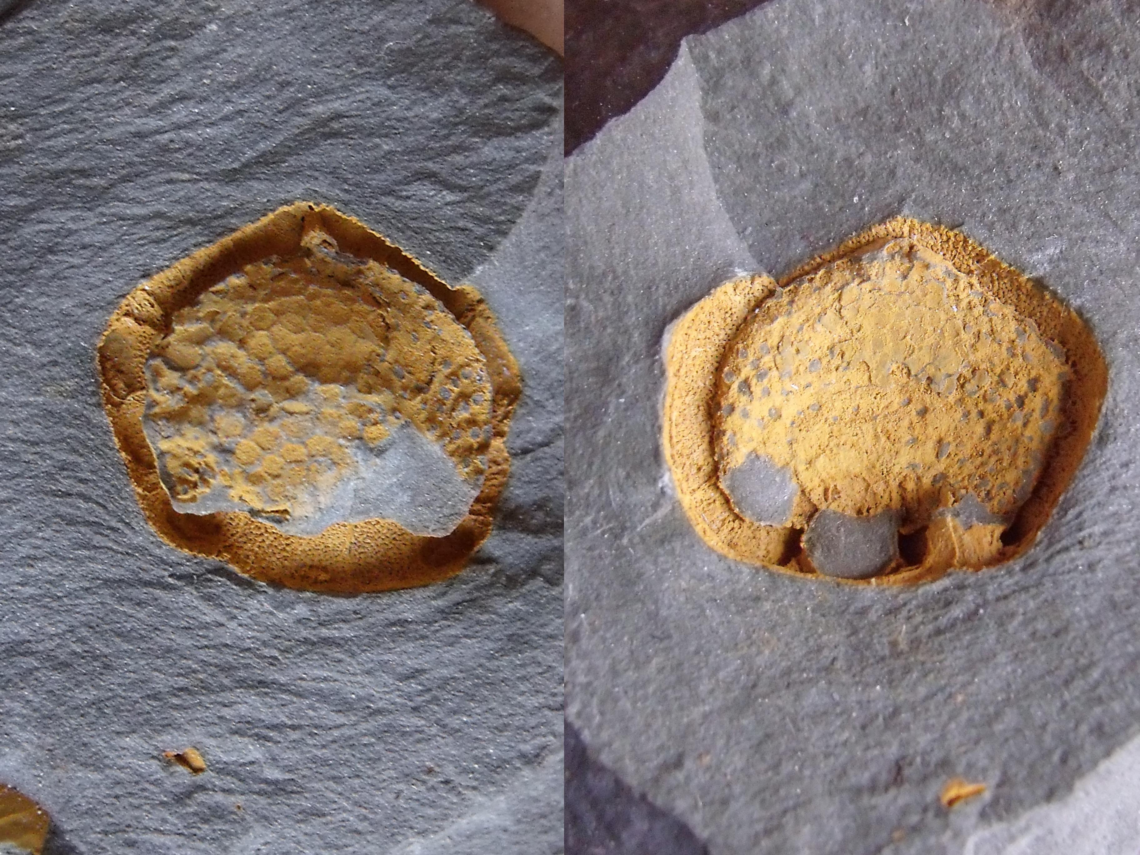 karpoid Trochocystites bohemicus, (lok.Skryje)