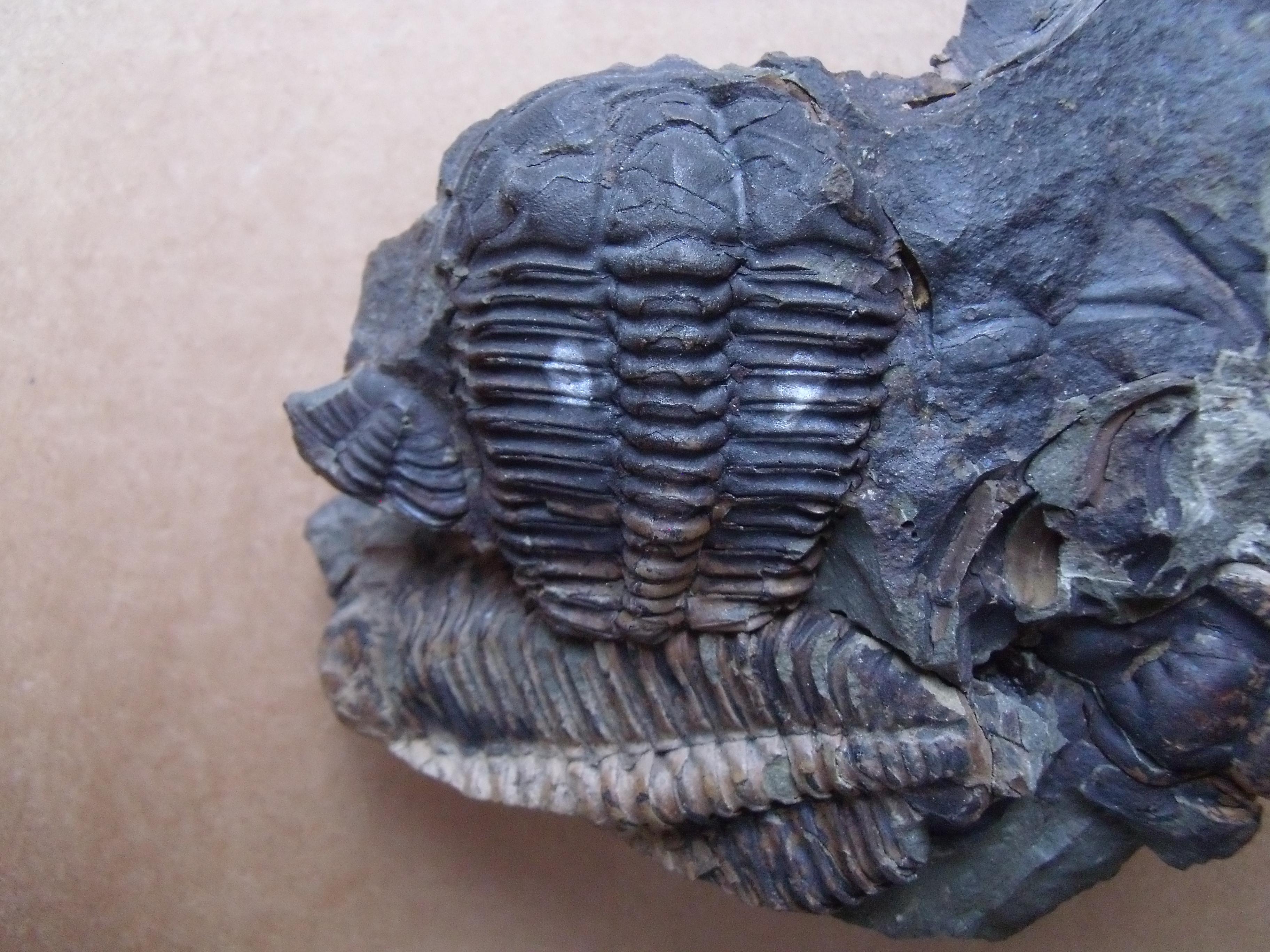trilobit Ptychoparia striata, (lok.Jince)