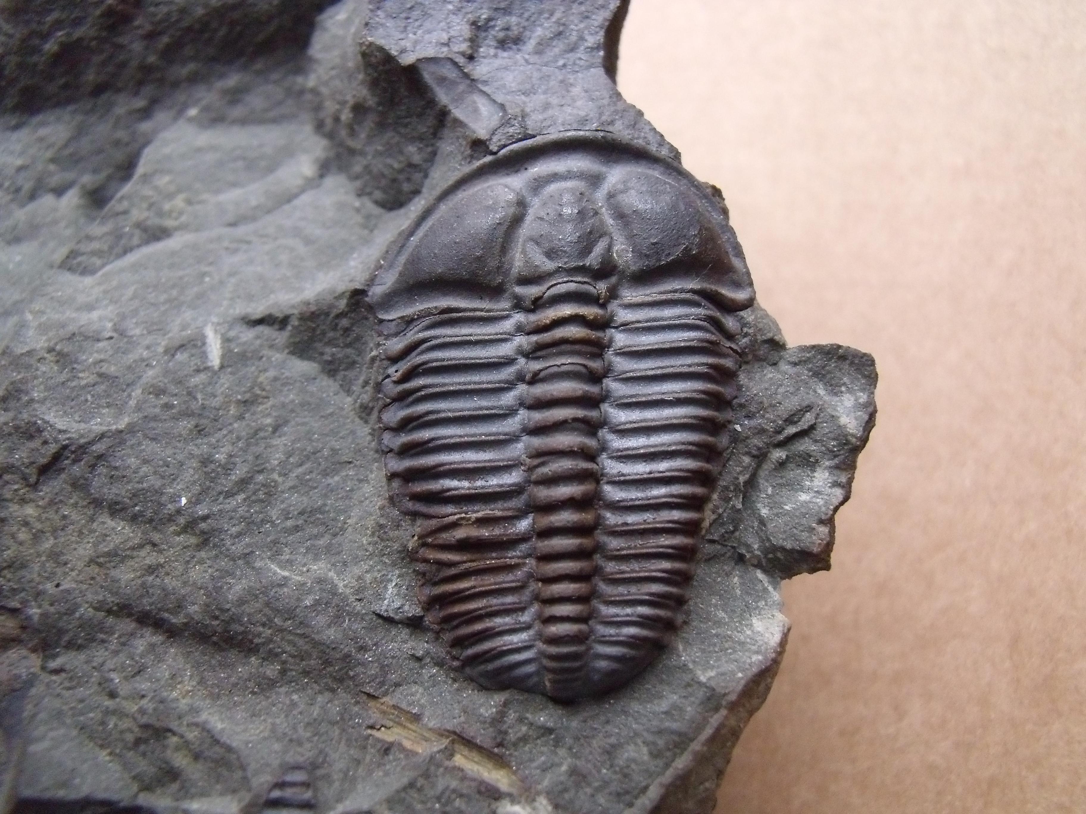 trilobit Conocoryphe sulzeri, (lok.Jince)