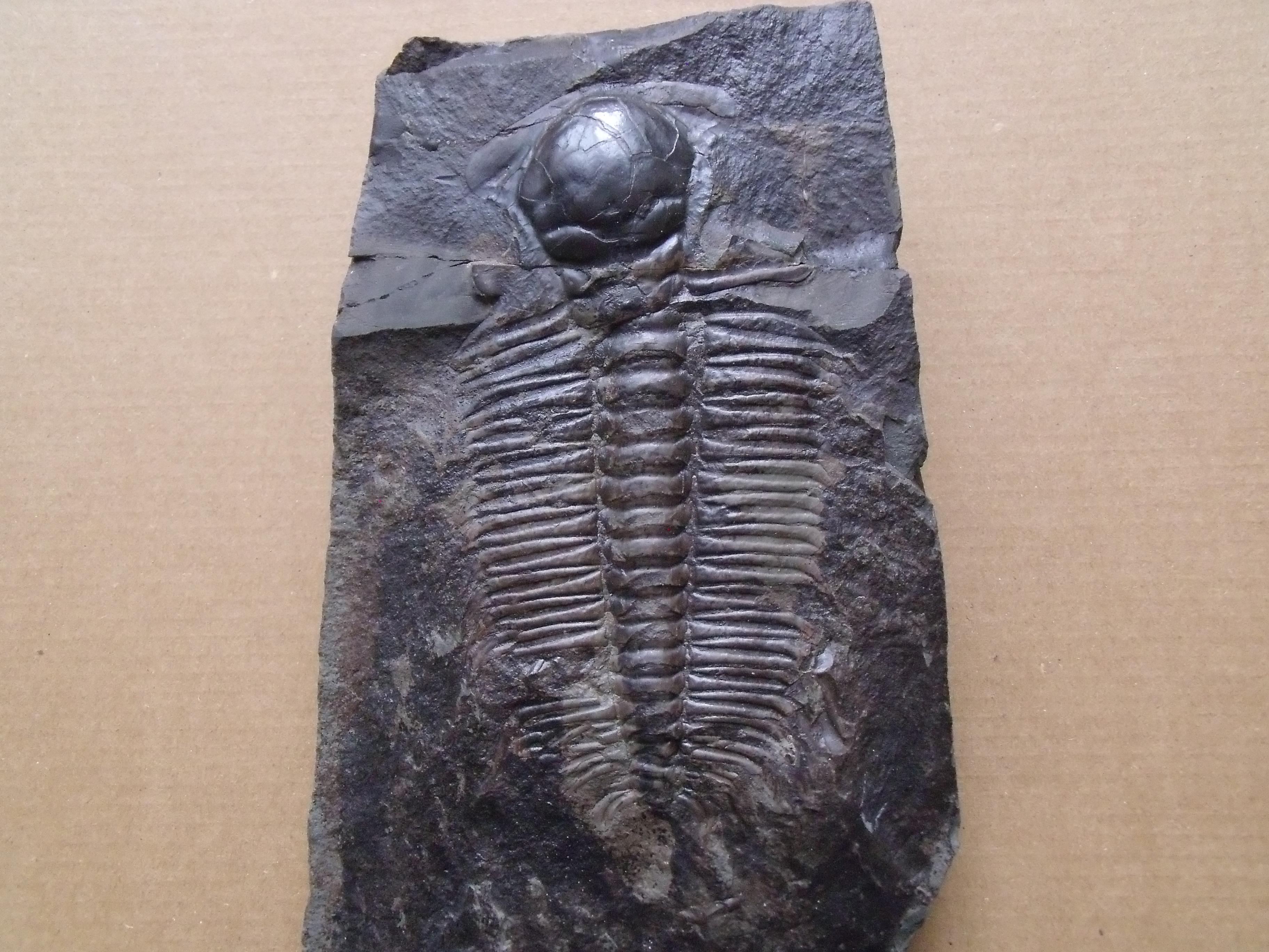 trilobit Hydrocephalus minor, (lok.Felbabka)