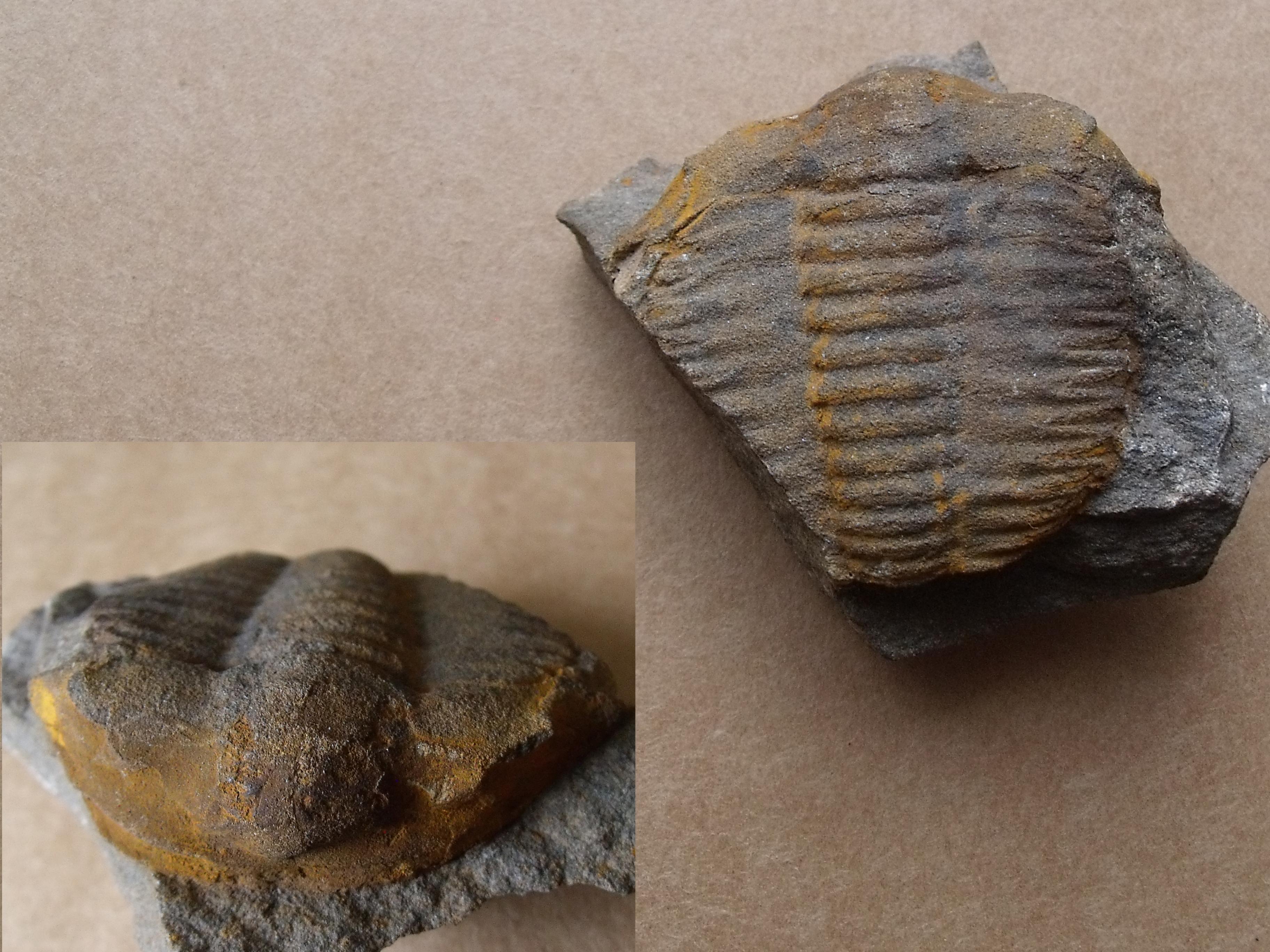trilobit Germaropyge germari, (lok.Skryje)