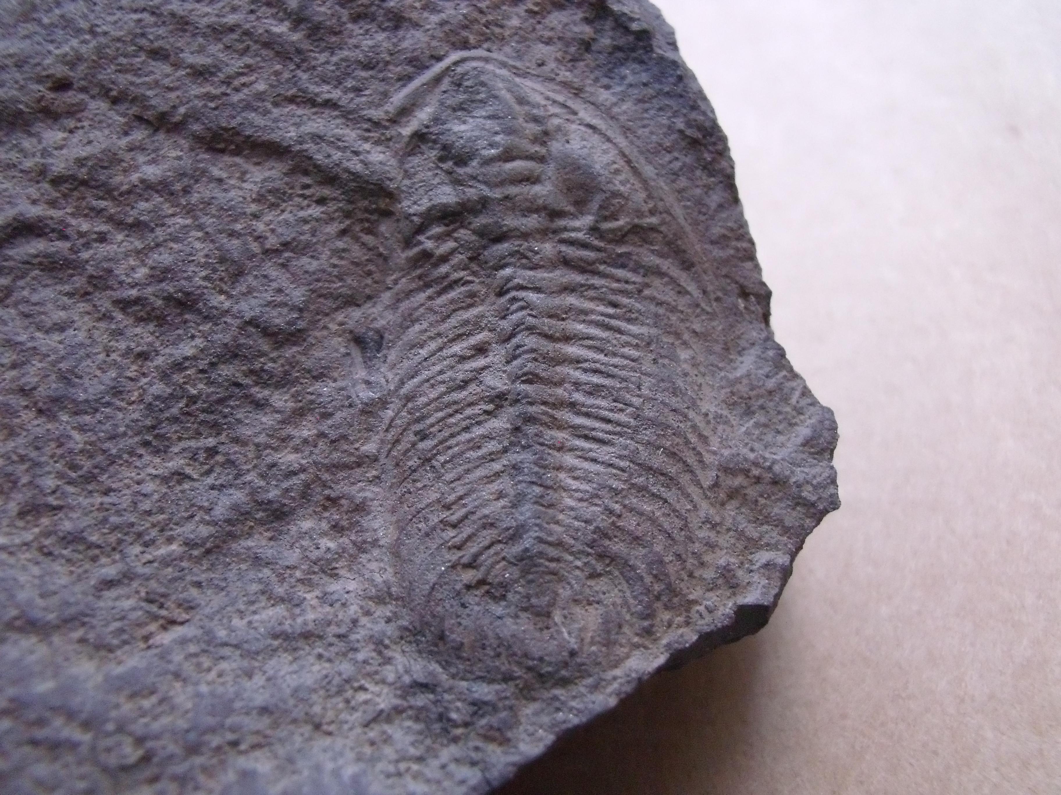 trilobit Eccaparadoxides pusillus, (lok.Rejkovice)