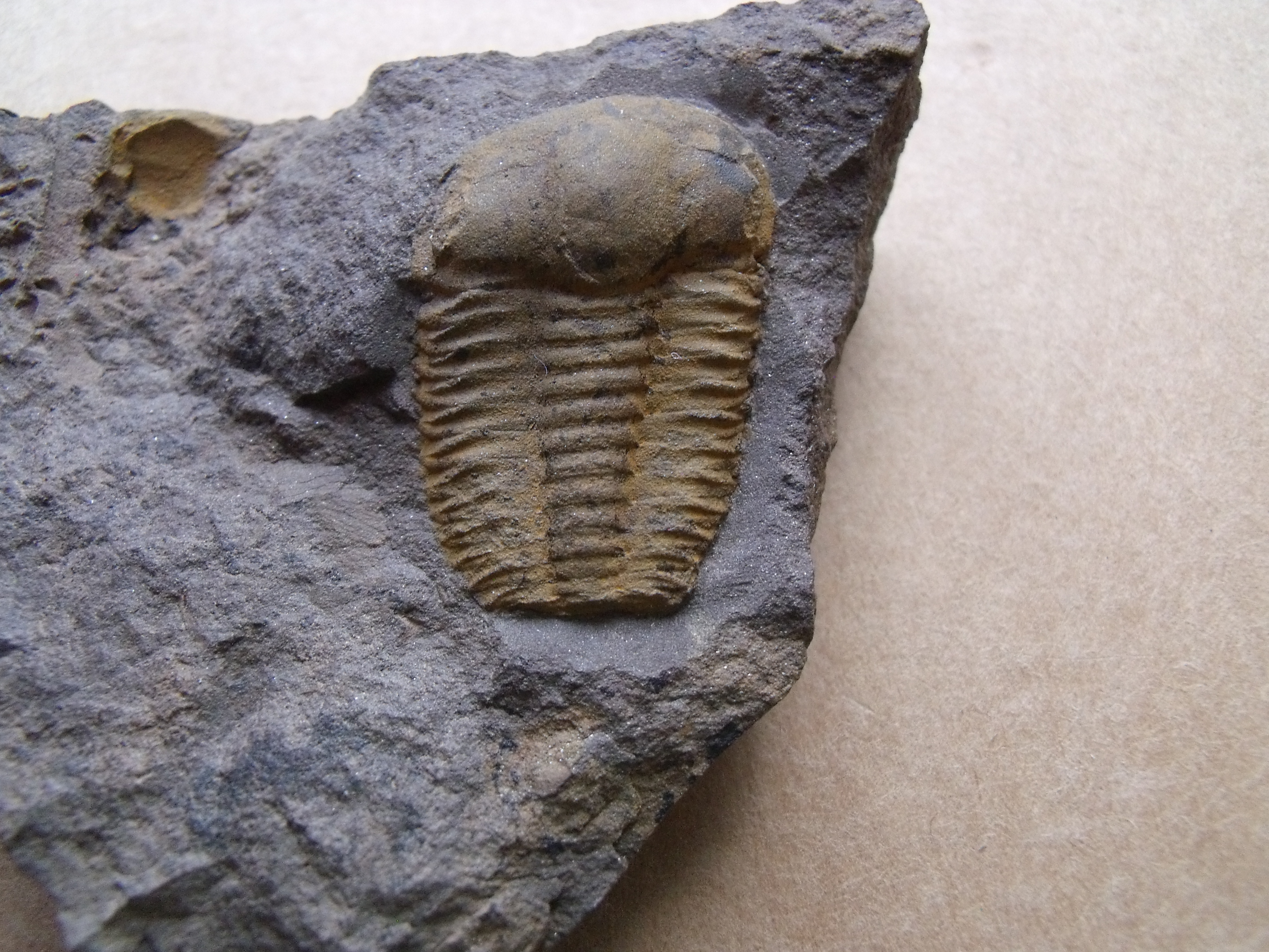 trilobit Ellipsocephalus vetustus, (lok.Rejkovice)
