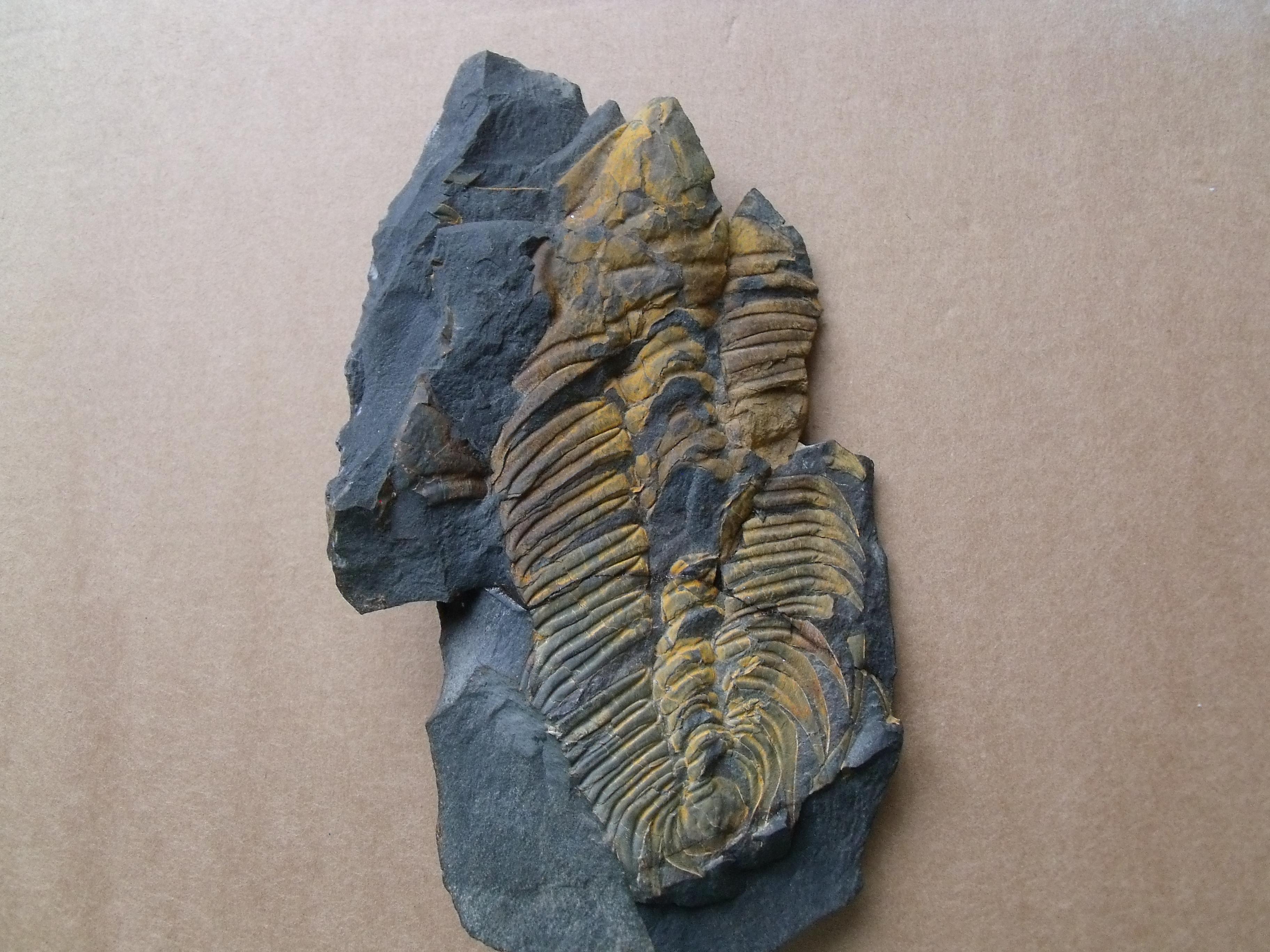 trilobit Hydrocephalus carens, (lok.Skryje)