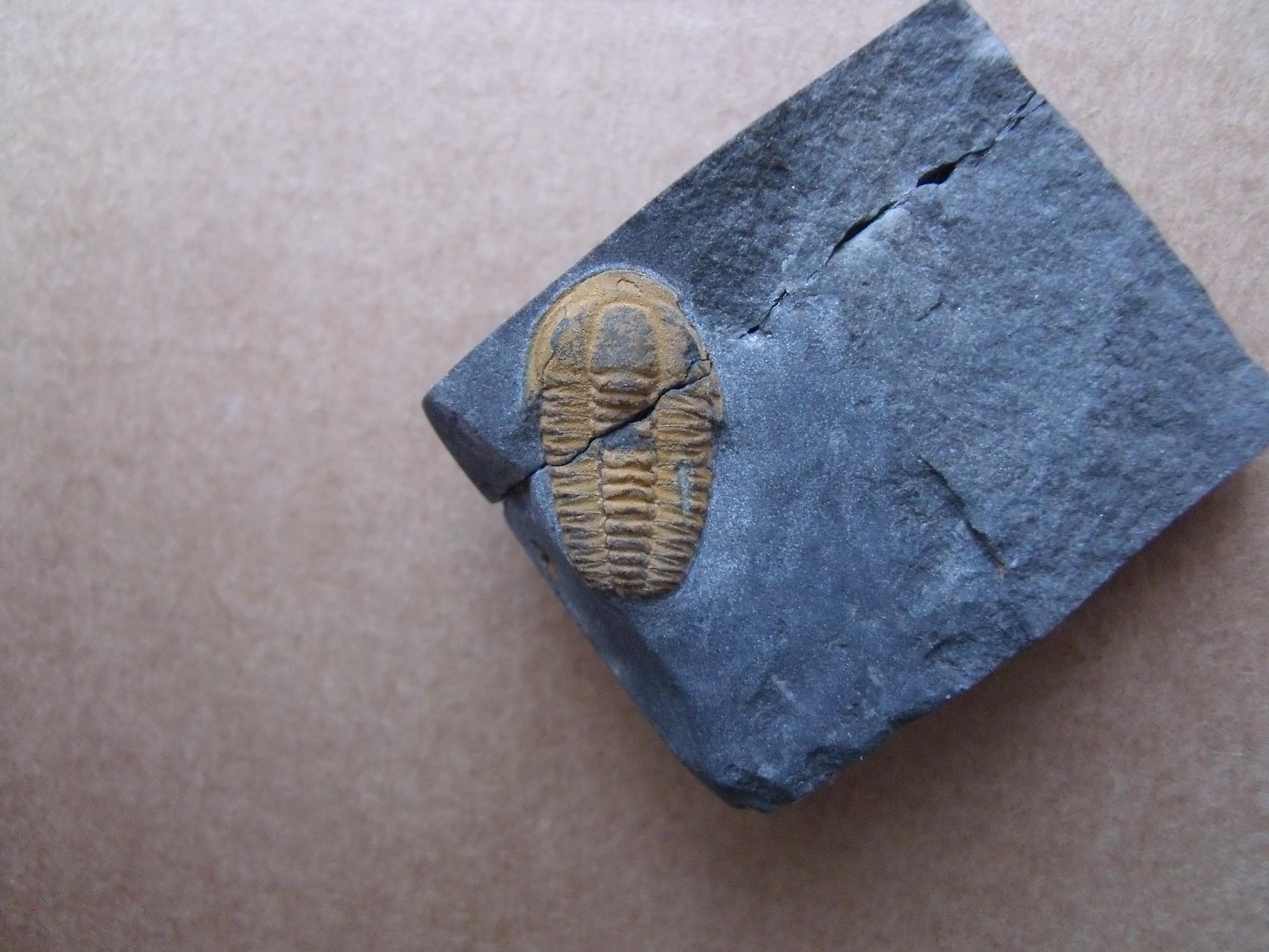 trilobit Skreiaspis spinosa, (lok.Skryje)