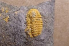 trilobit Skreiaspis spinosa, (lok.Rejkovice)