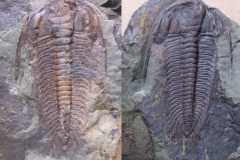 trilobiti Paradoxides gracilis, (zvětšené předchozí foto)