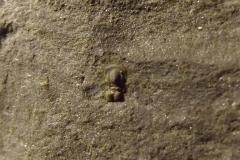 trilobit Peronopsis integra, (lok Felbabka)