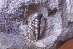 trilobit Hydrocephalus minor, (lok.Jince)