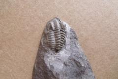 trilobit Acadolenus snajdri, (lok.Rejkovice)