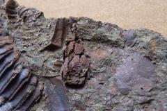 pralilijice Lichenoides priscus, (lok.Felbabka)