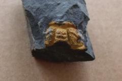 hlava trilobita Sao hirsuta, (lok.Skryje)