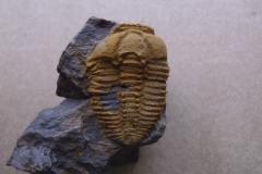 trilobit Conocoryphe cirina, (lok.Rejkovice)