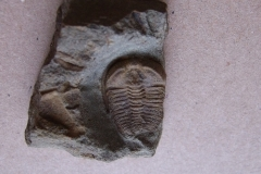 trilobit Ctenocephalus coronatus, (lok.Skryje)