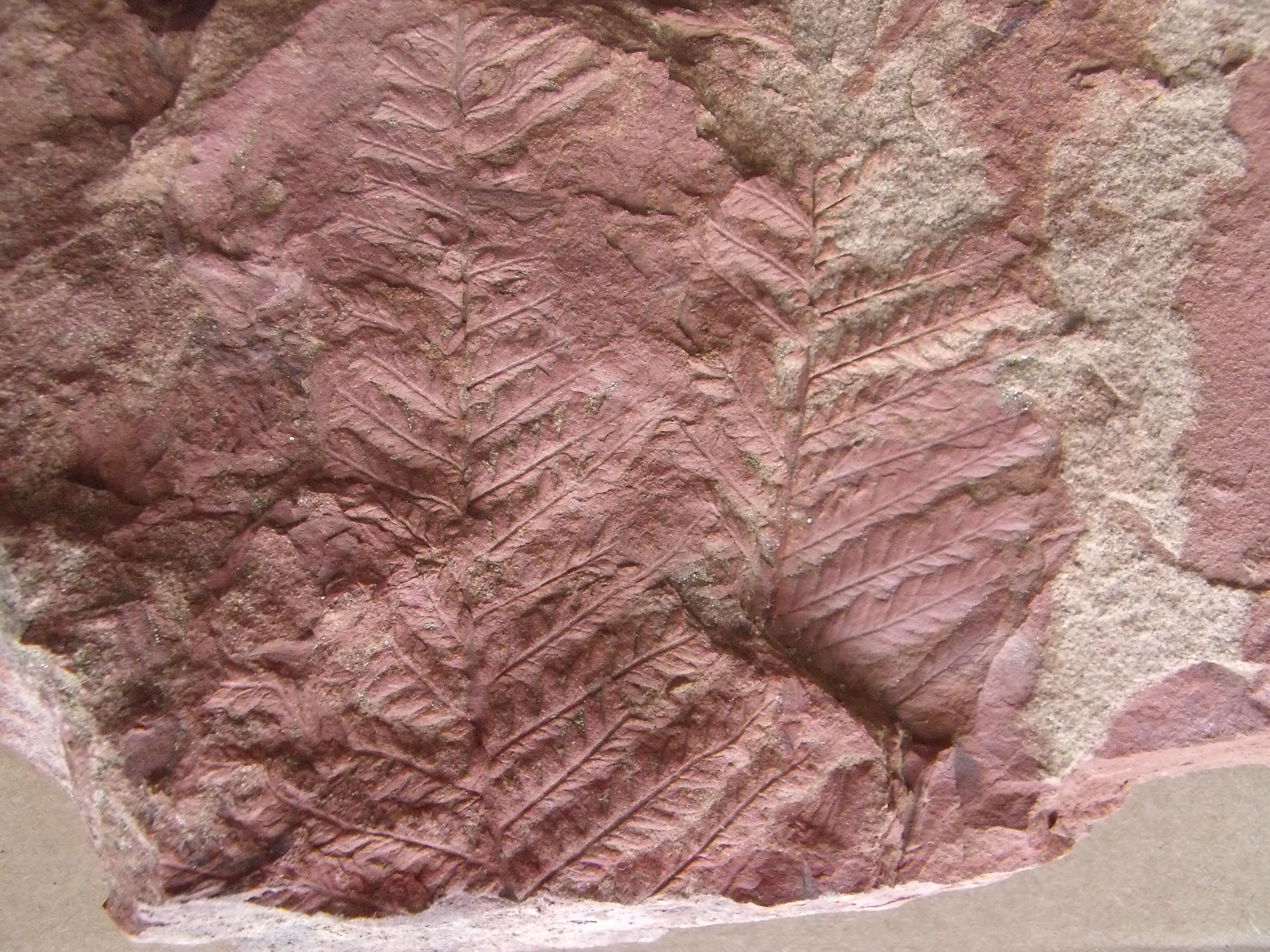 kapradina Acitheka cf.polimorfa, (lok.Zbůch)