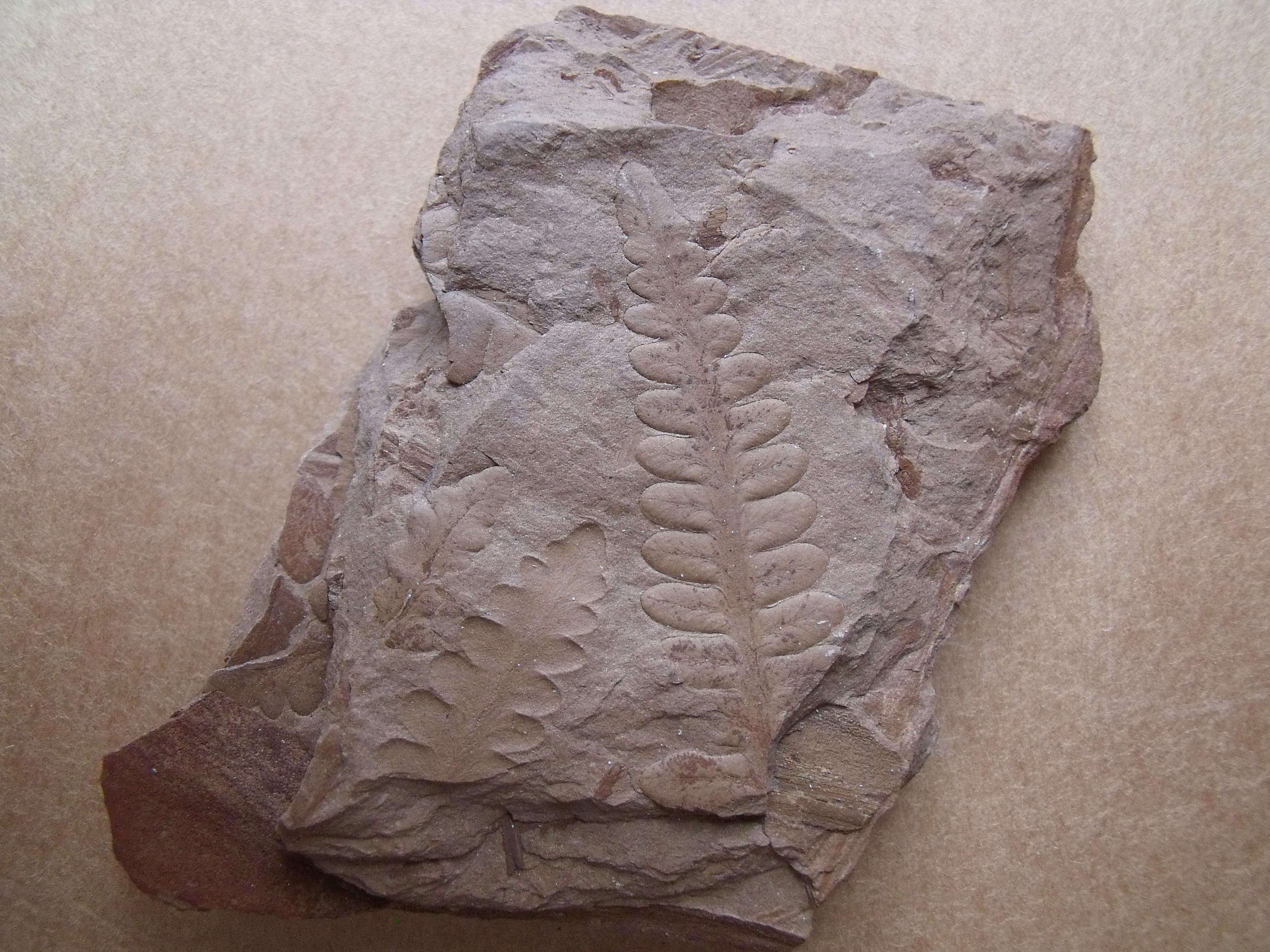 kapradina Odontopteris sp., (lok.Zbůch)