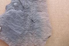 koncové olistění plavuně Lepidodendron simile, (lok.Nýřany)