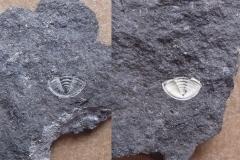 24) ocasní štít trilobita p/n