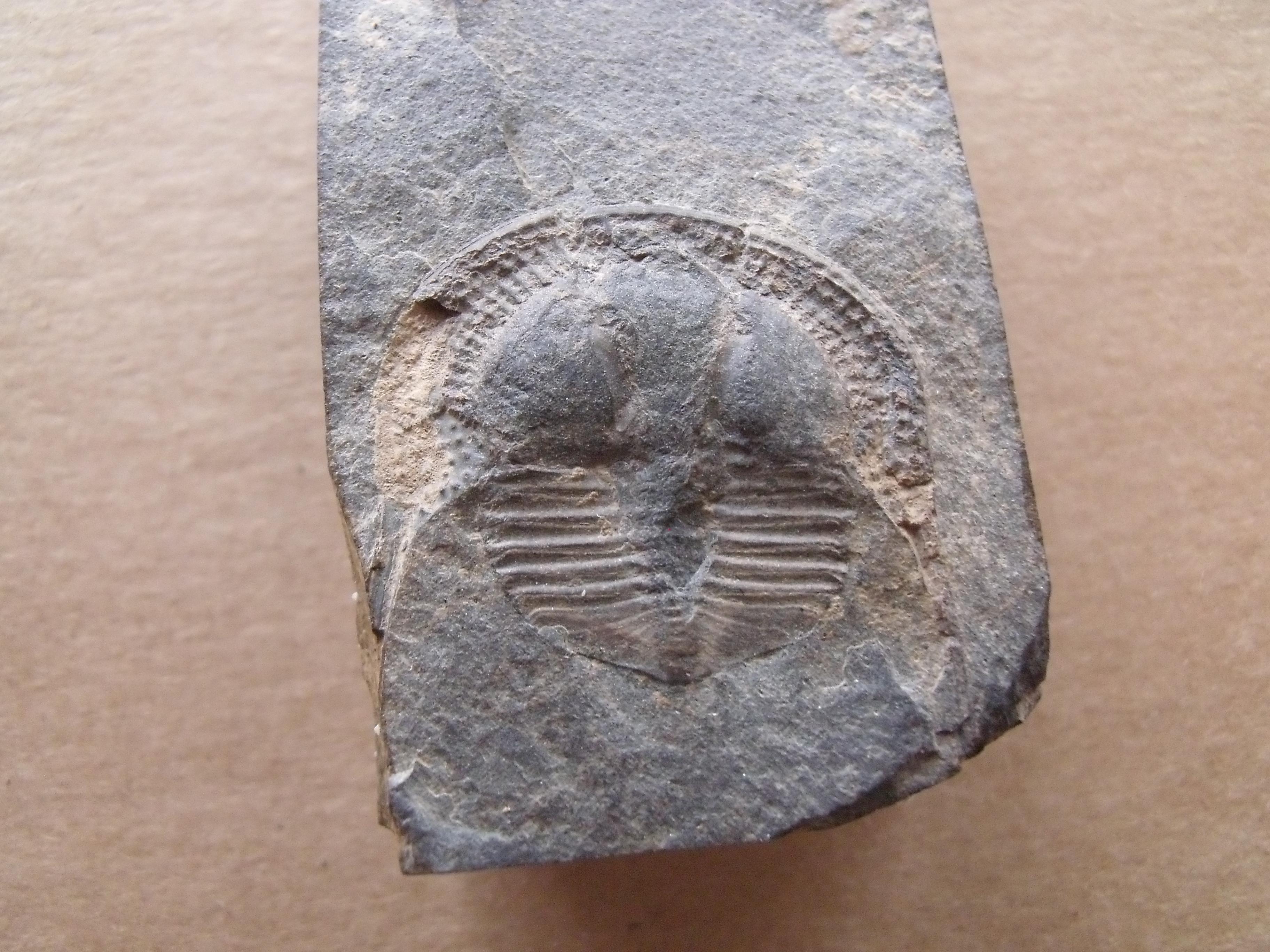trilobit Deanaspis senftenbergi, (lok.Beroun)