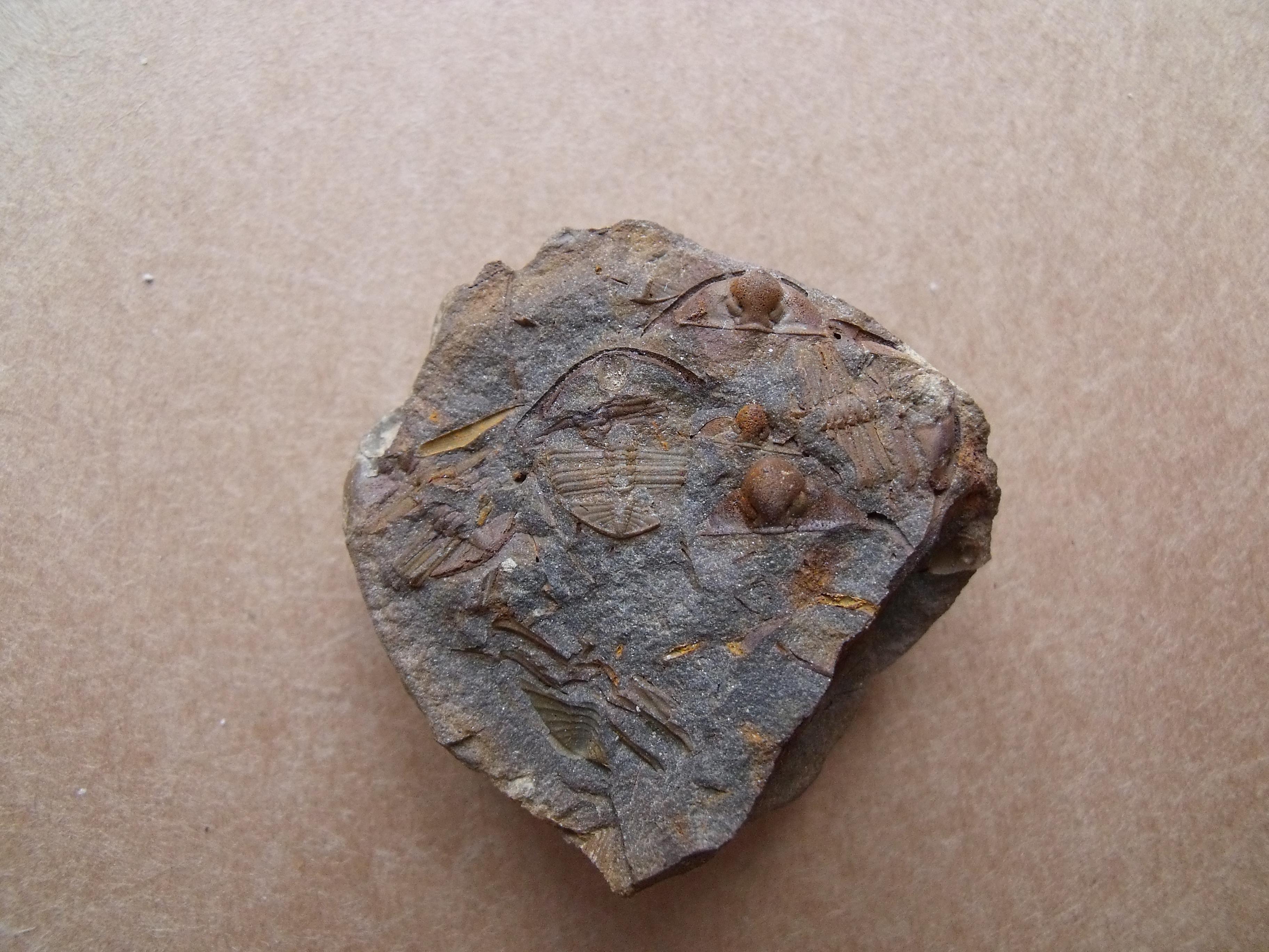 trilobit Trinucleoides reussy, (lok.Těškov)