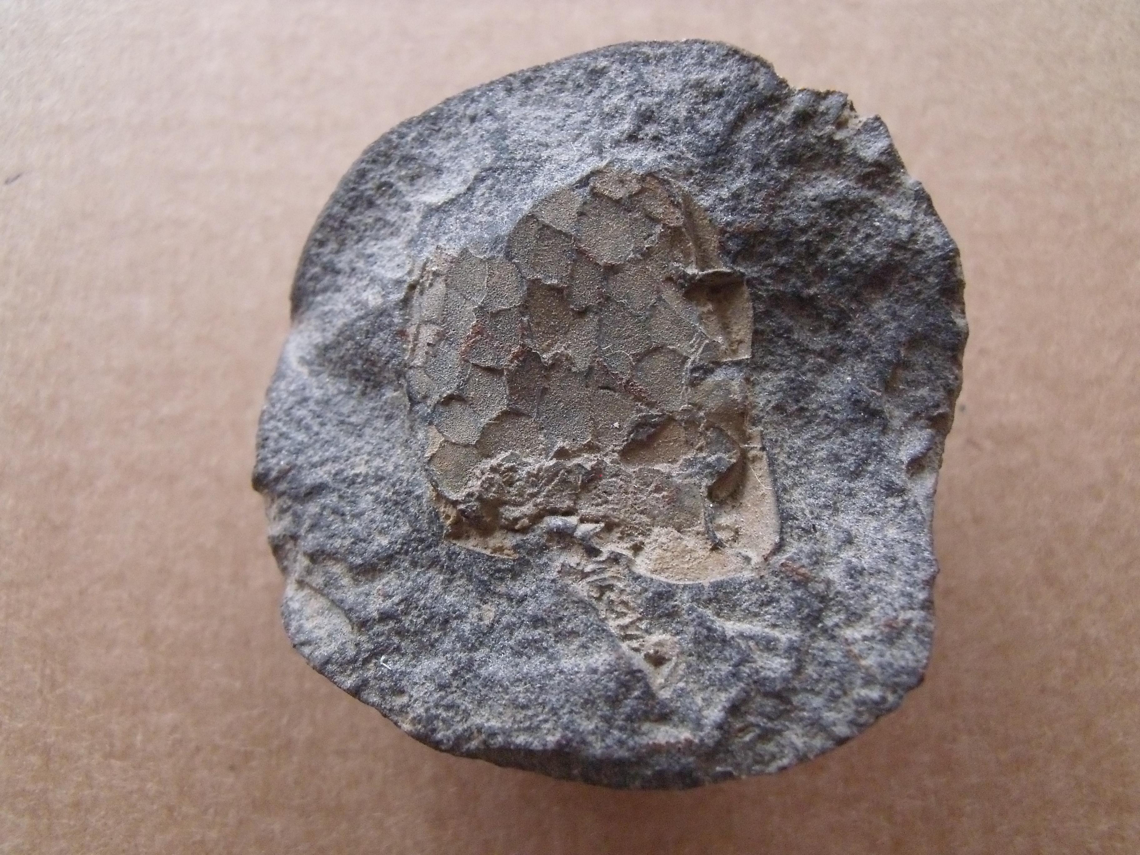 karpoid Mitrocystites mitra, (lok.Těškov)
