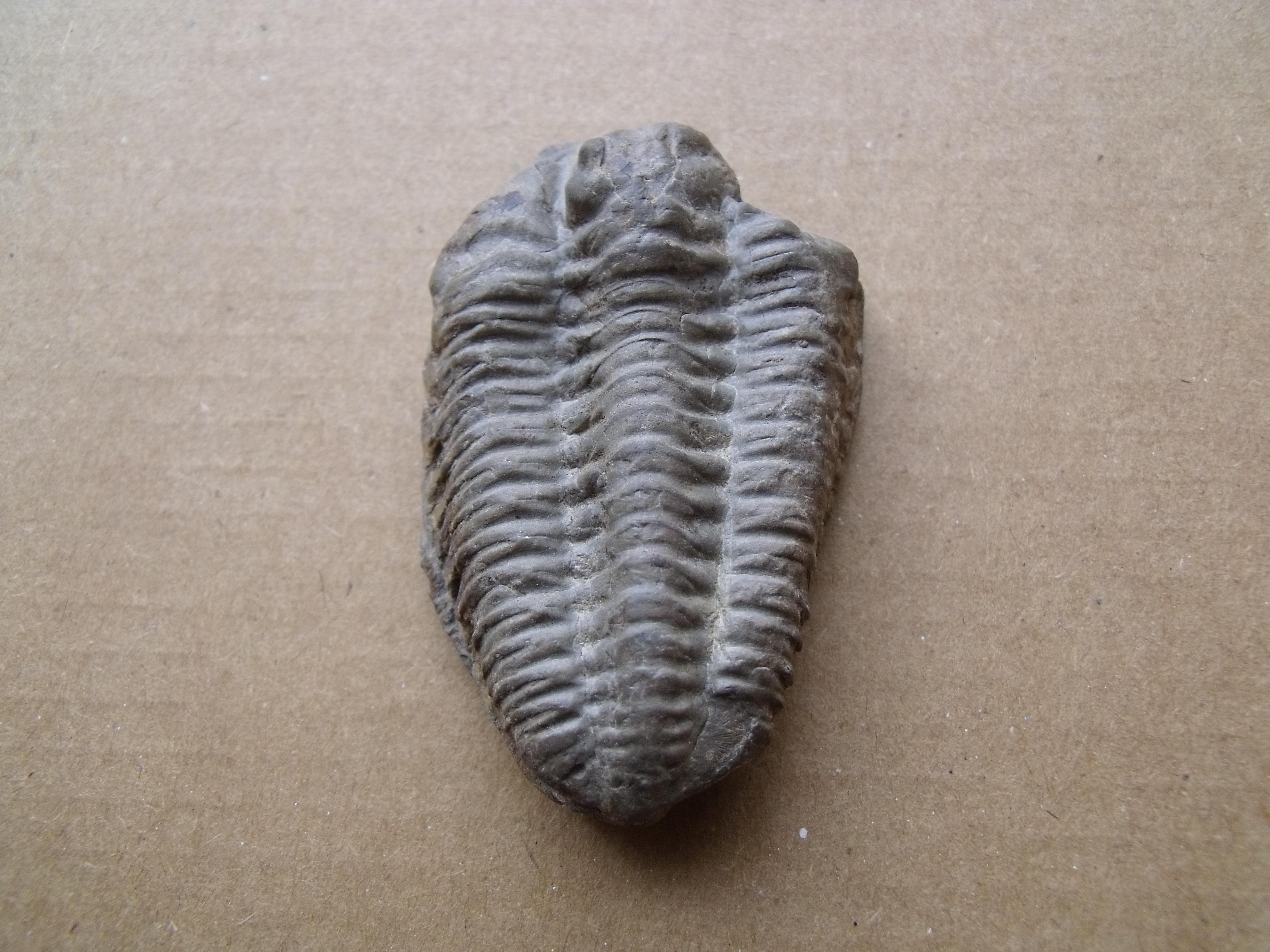 trilobit Flexicalymene declinata, (lok.Králův Dvůr)