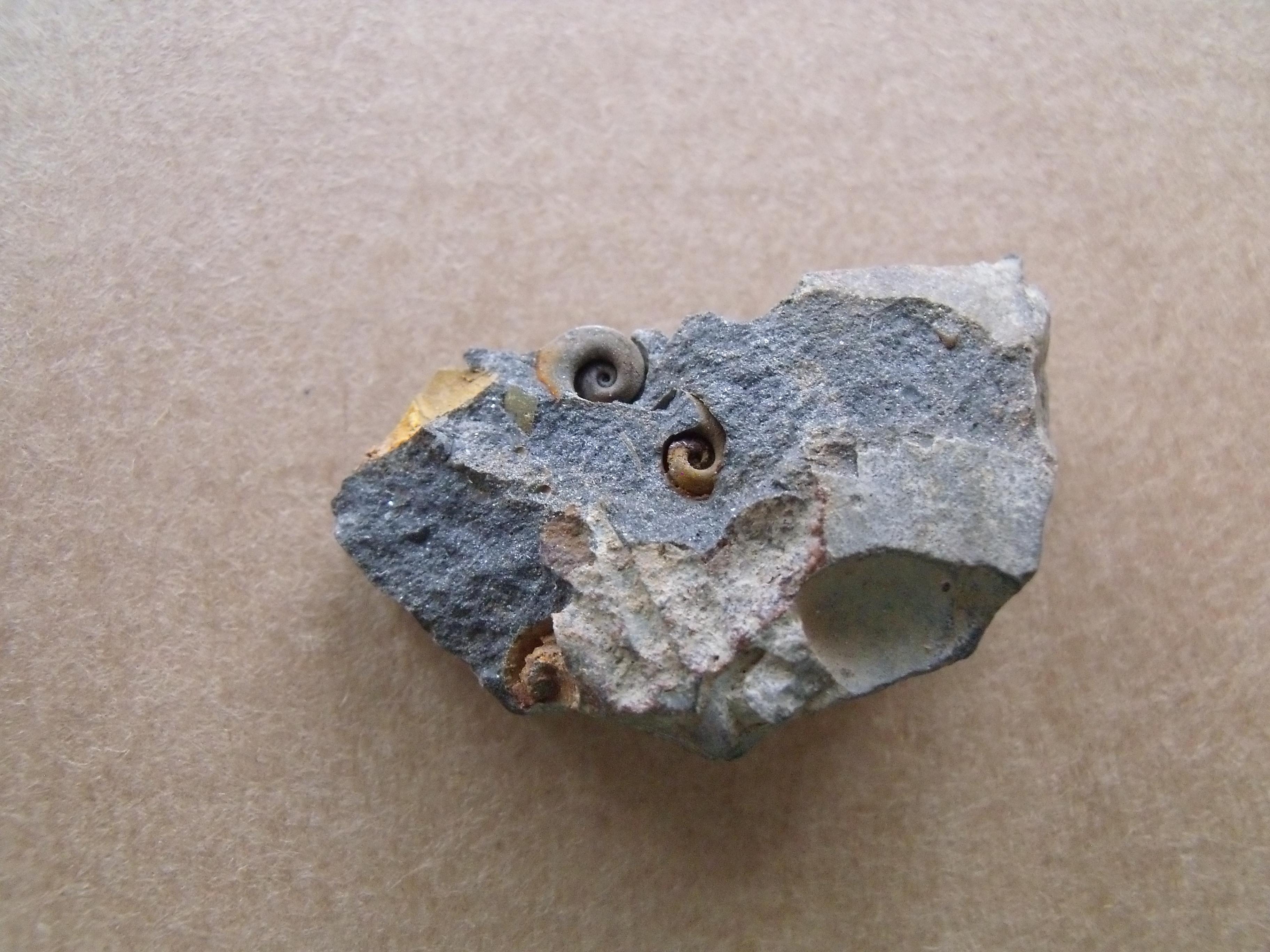 plži Tropidodiscus pusillus, (lok.Těškov)