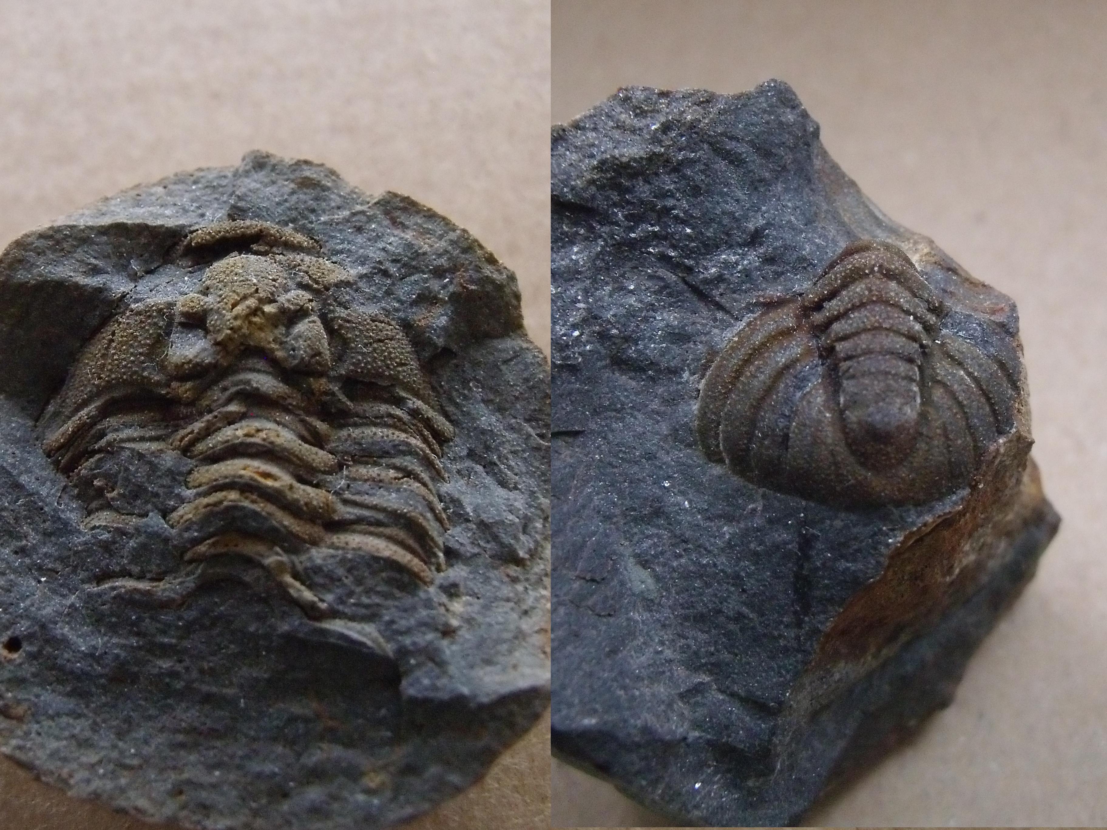 části trilobita Prionocheilus vokovicensis, (lok.Těškov)