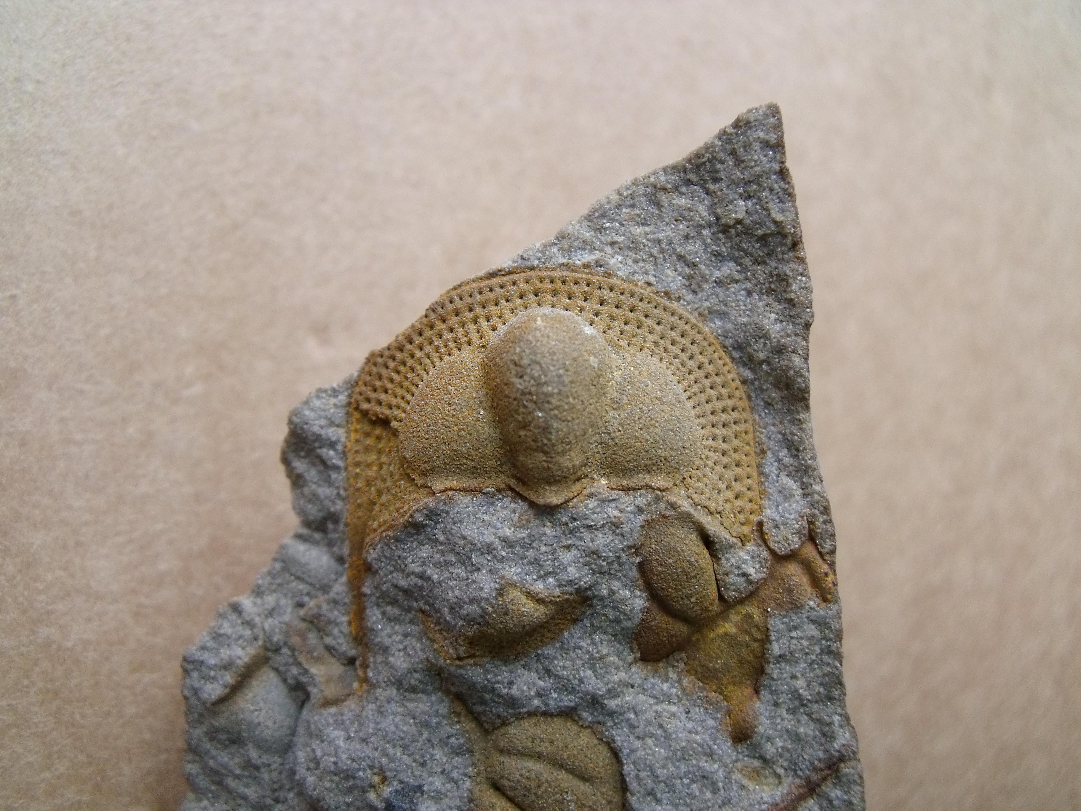 hlava trilobita Deanaspis goldfussi, (lok.Beroun)