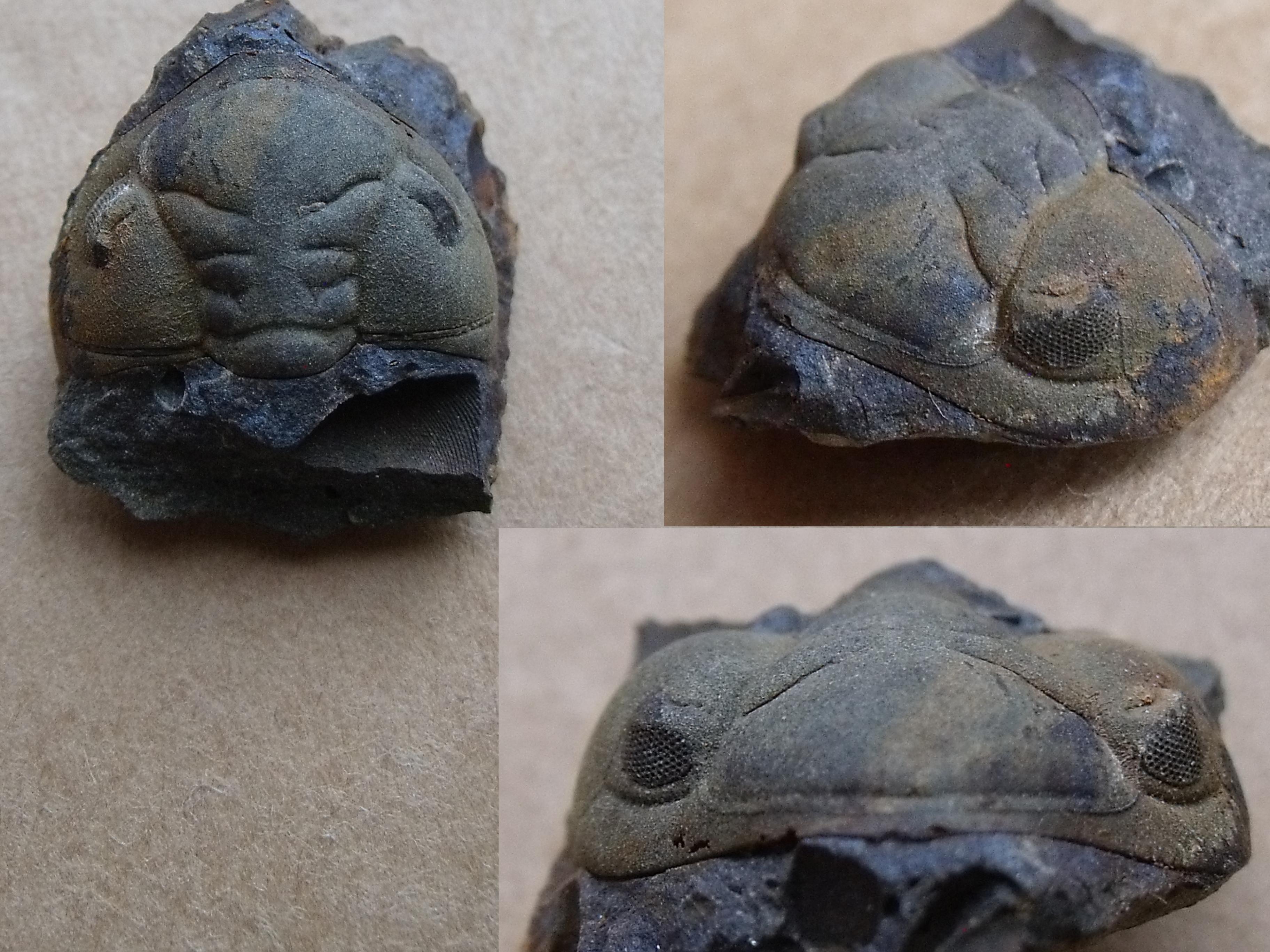 hlava trilobita Ormathops atava, (lok. Těškov)