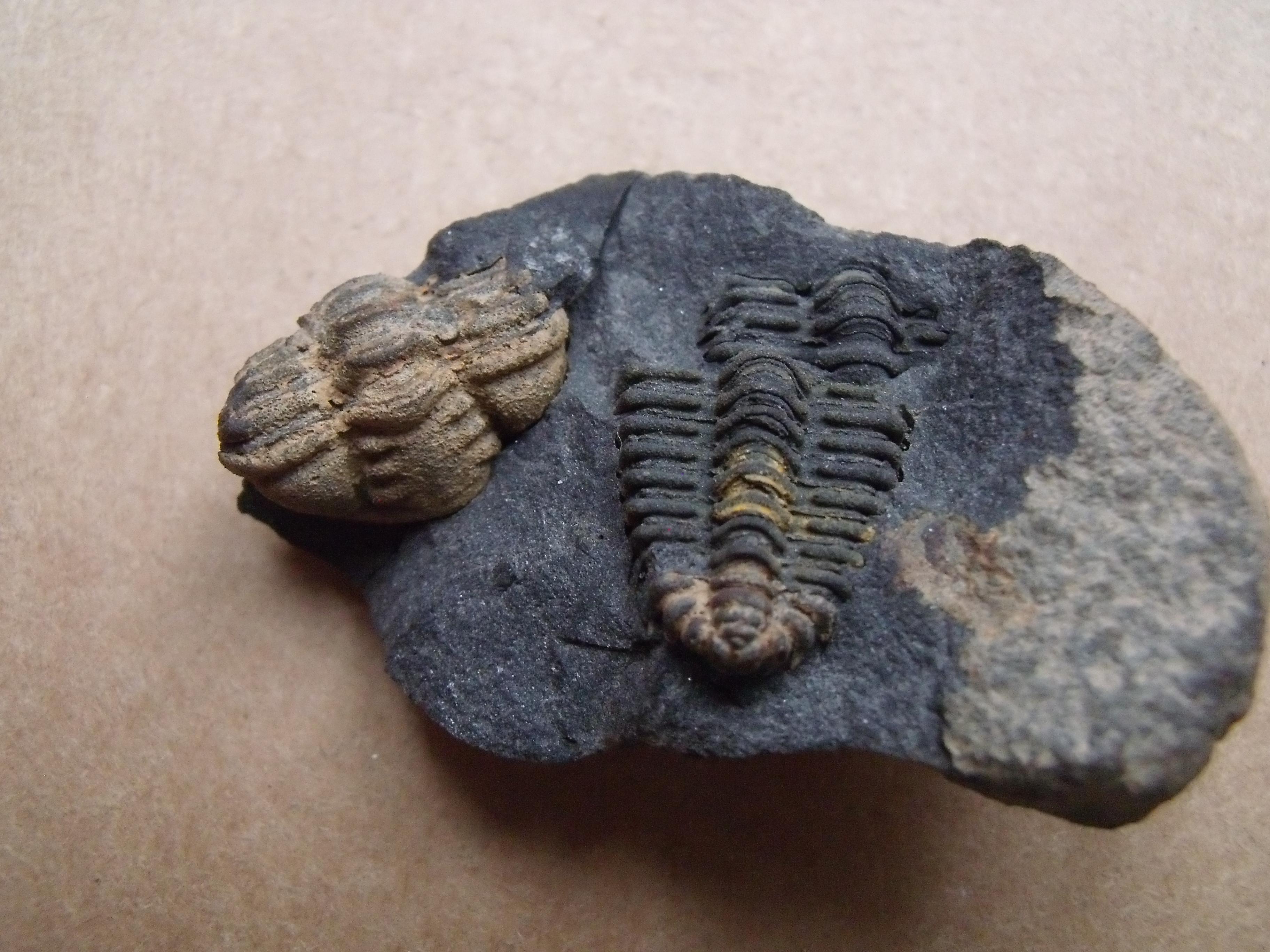 části trilobitů Placoparia cambriensis, (lok.?)