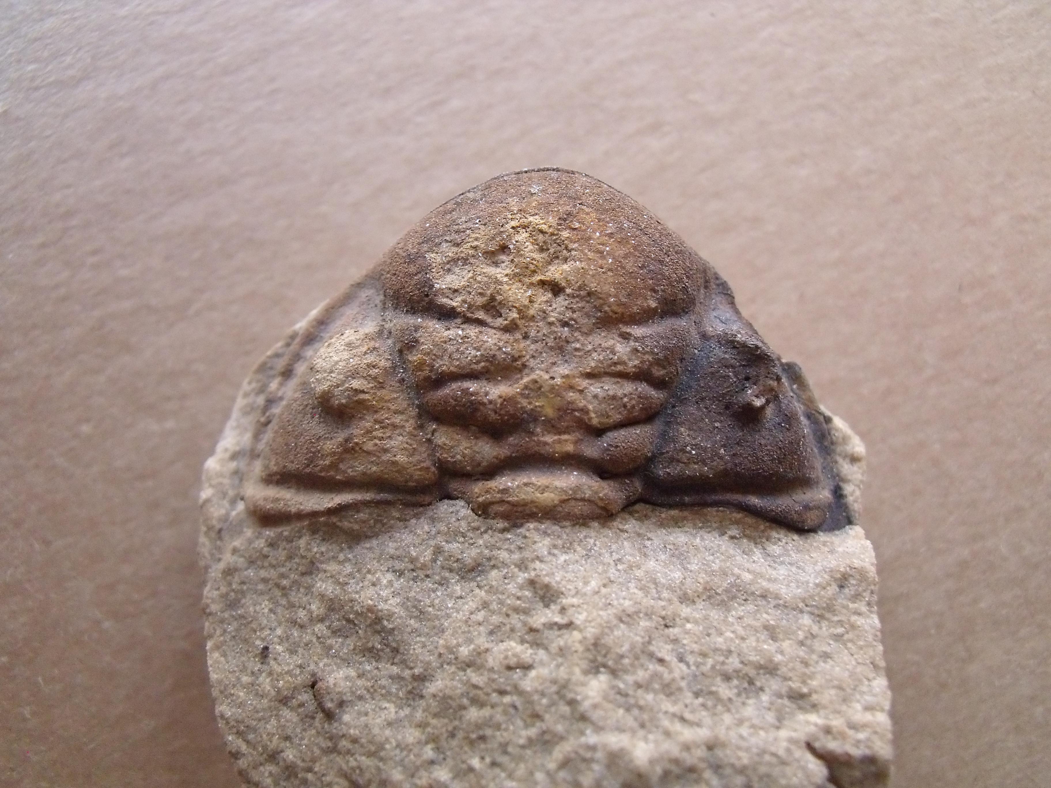 hlava trilobita Dalmanitina socialis, (lok.Beroun)