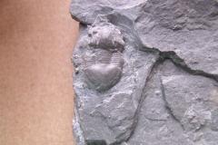 trilobit Dysplanus wahlenbergianus, (lok.Levín)