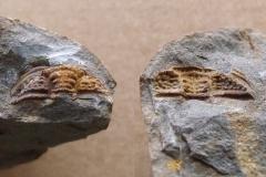 hlava trilobita Plasiaspis bohemica, p/n (lok.Těškov)