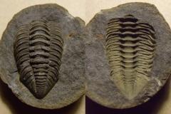 část trilobita Ormathops atava, p/n (lok.Těškov)