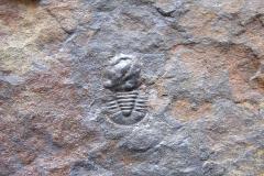 trilobit Cyclopyge bohemica, (lok. Ejpovice)