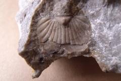 11) ocasní štít trilobita
