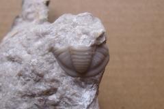 20) ocasní štít trilobita